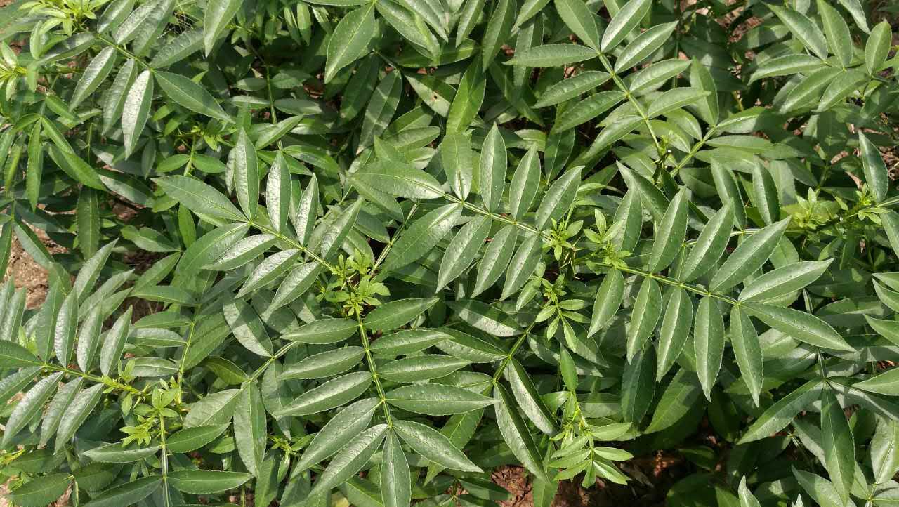 花椒在养殖上的妙用